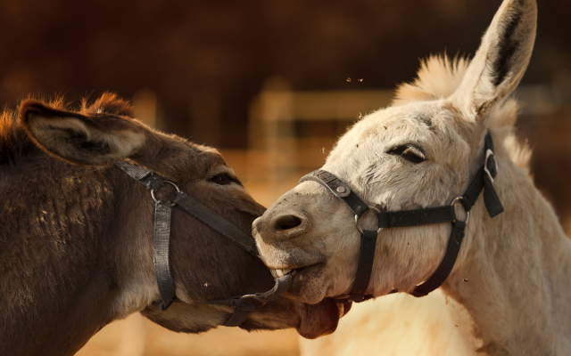 2000x1387 pix. Wallpaper animals, donkey, friends