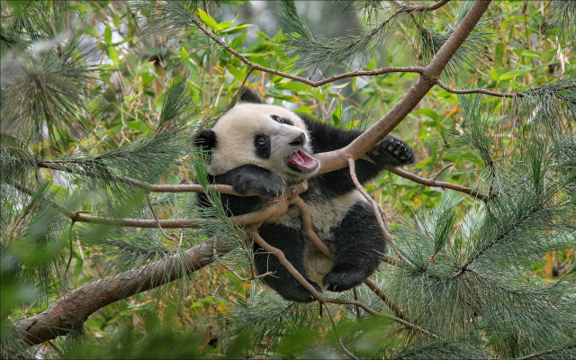2042x1276 pix. Wallpaper animals, bear cub, cub, panda, nature, branches, needles, pine