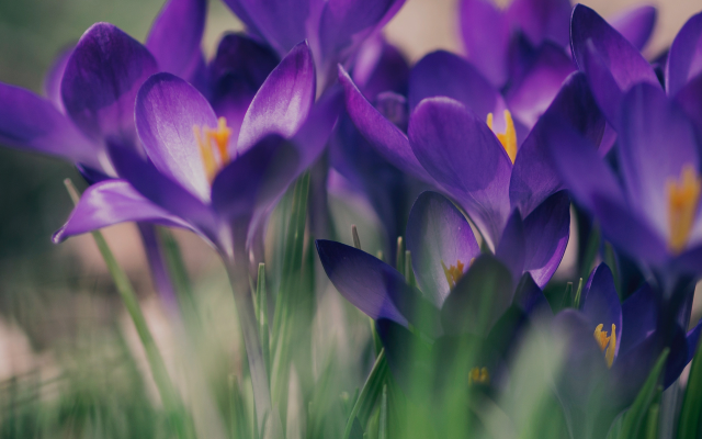 1920x1920 pix. Wallpaper nature, spring, flowers, crocuses, macro