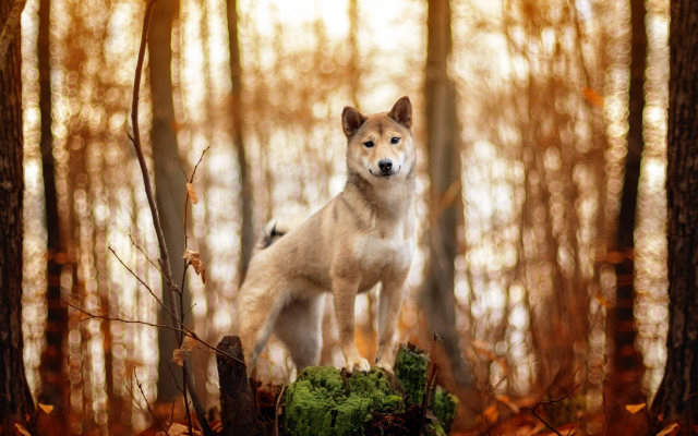 2560x1707 pix. Wallpaper red dog, dog, animals, forest, akita inu