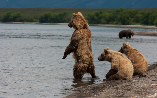 2500x1667 pix. Wallpaper animals, bear, brown bear, lake, kamchatka, kuril lake, russia