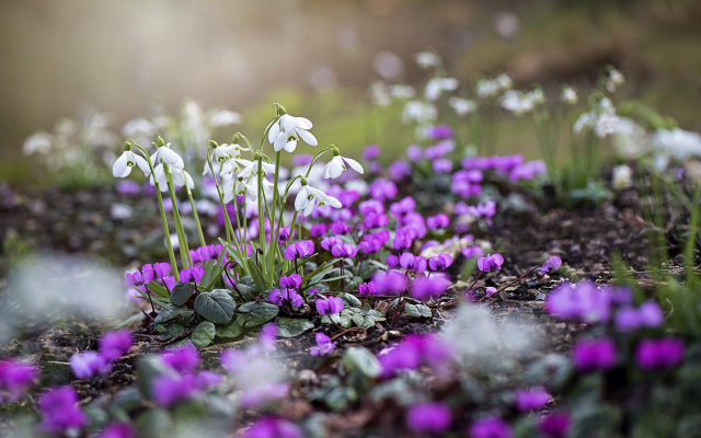 2000x1335 pix. Wallpaper snowdrops, spring, cyclamen, nature, flowers