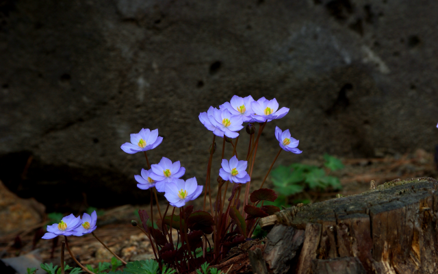 3872x2592 pix. Wallpaper flowers, stones, spring, nature
