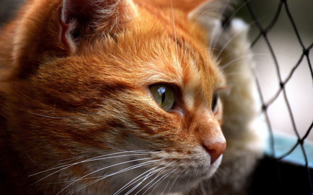6000x4000 pix. Wallpaper red cat, cat, animals