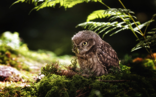 1920x1280 pix. Wallpaper birds, owl, nature, moss, cone, animals