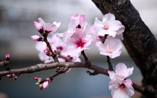 2048x1368 pix. Wallpaper nature, spring, bloom, tree, branch, flowers, almond