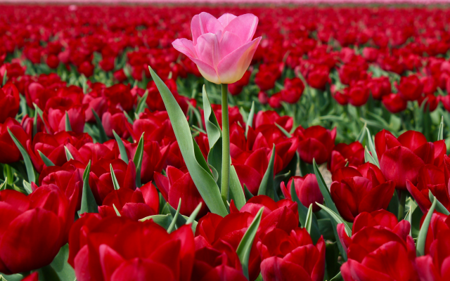 5012x3261 pix. Wallpaper nature, spring, bloom, flowers, tulips