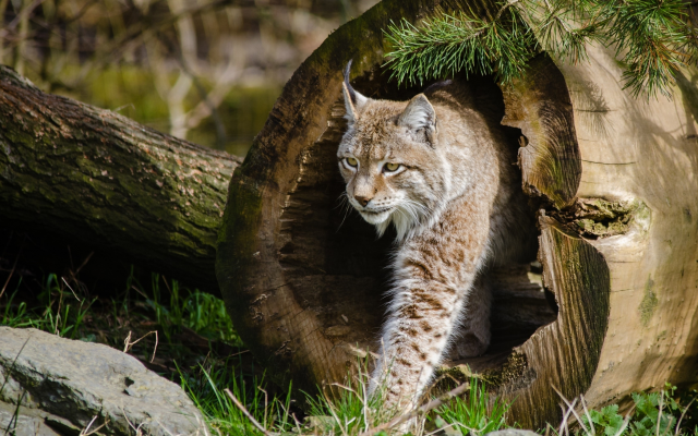 3801x2160 pix. Wallpaper animals, lynx, nature, log