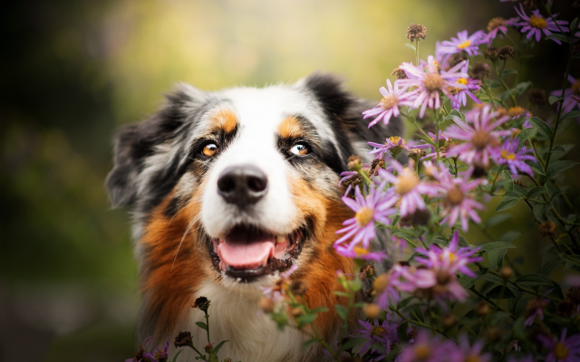 2048x1363 pix. Wallpaper australian shepherd, aussie, animals, dog, bush, bloom, flowers