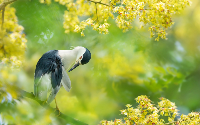 2048x1365 pix. Wallpaper black-crowned night heron, bird, flowering, taiwan, animals, nature