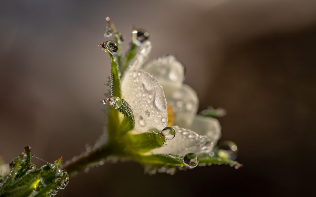 6000x4000 pix. Wallpaper macro, flowers, strawberry, water drops, dew, nature