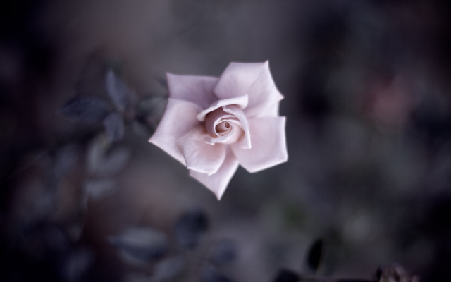 2560x1600 pix. Wallpaper nature, macro, closeup, detailed, plants, depth of field, flowers, leaves, rose, petals