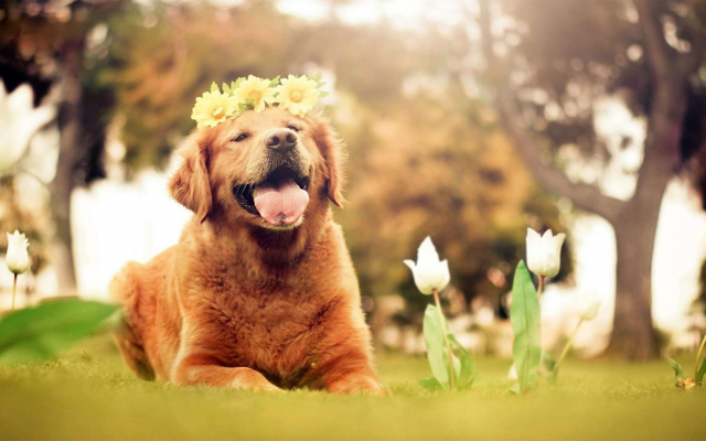 1920x1080 pix. Wallpaper dog, animals, nature, tulips, flowers, open mouth, golden retrievers