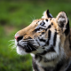 tiger, animals, nature, big cats wallpaper