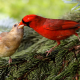bird, Northern cardinal, redbird, common cardinal wallpaper