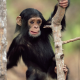 chimpanzee, animals, nature, baby animals, monkey wallpaper