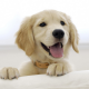 golden retriever, dog, animals, puppy wallpaper