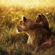 lion, lion baby, grass, field, animals wallpaper