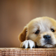 puppy, dog, animals wallpaper