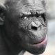 animals, monkey, chimpanzee, closeup, eyes, muzzle wallpaper