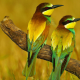 bird, bee-eater, branch wallpaper