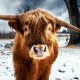 nature, animals, cows, horns, snow, winter, trees wallpaper