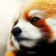 animals, red panda, nose wallpaper