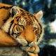 animals, tigers wallpaper