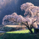 tree, spring, cherry, blossom, grass wallpaper