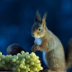 animals, squirrel, grapes, food wallpaper