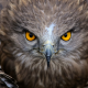 hawk, nature, animals, bird, feather wallpaper