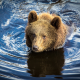 bear, animals, nature, swimming bear wallpaper