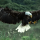 animals, bald eagle, eagle, bird, feather wallpaper