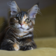 Maine Coon, cat, animals wallpaper