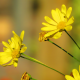 flowers, yellow flowers, bees, nature wallpaper