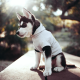 siberian husky, animals, dog, puppy wallpaper