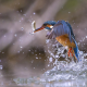 Kingfisher, bird, fish, water, water drops, nature, animals wallpaper