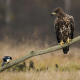 bird, nature, golden eagle, eagle, crow, animals wallpaper