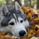 alaskan malamute, animal, leaf, autumn, snow dog, sled dog, sledge dog, dog wallpaper