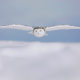 owl, winter, animals, bird, snow wallpaper