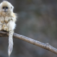 myanmar, snub-nosed monkey, monkey, animals, sitting, branch wallpaper