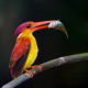 rufous-backed kingfisher, ceyx rufidorsa, birds, branch, animals wallpaper