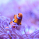 ocellaris clownfish, nemo, clownfish, underwater, animals, macro, nature, fish wallpaper