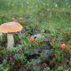 orange-cap boletus, cloudberry, plants, mushroom, macro, berry, nature wallpaper
