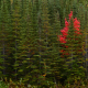 newfoundland, canada, forest, tree, pine, autumn, nature wallpaper