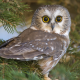 birds, owl, eyes, pine, animals wallpaper