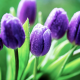flowers, tulips, dew, water drop, wet, nature wallpaper