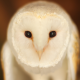 barn owl, bird, owl, animals wallpaper