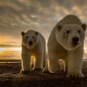 polar bear, predator, animals, sunset, coast wallpaper