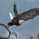 bald eagle, bird, takeoff, tree, animals wallpaper